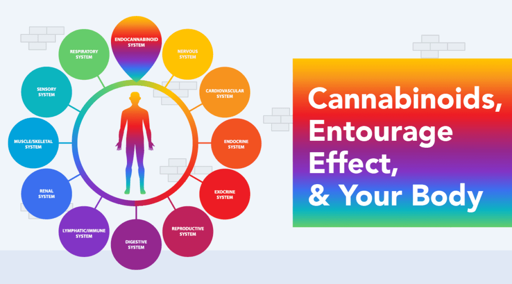 Cannabinoids and How They Interact with Your Body