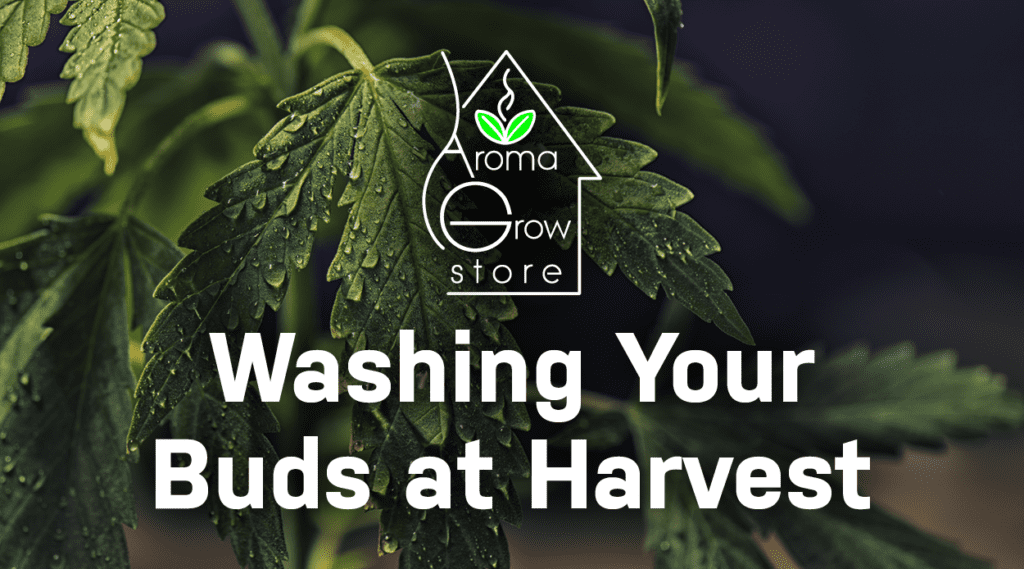 Do You Wash Your Home Grown Buds After Harvest?