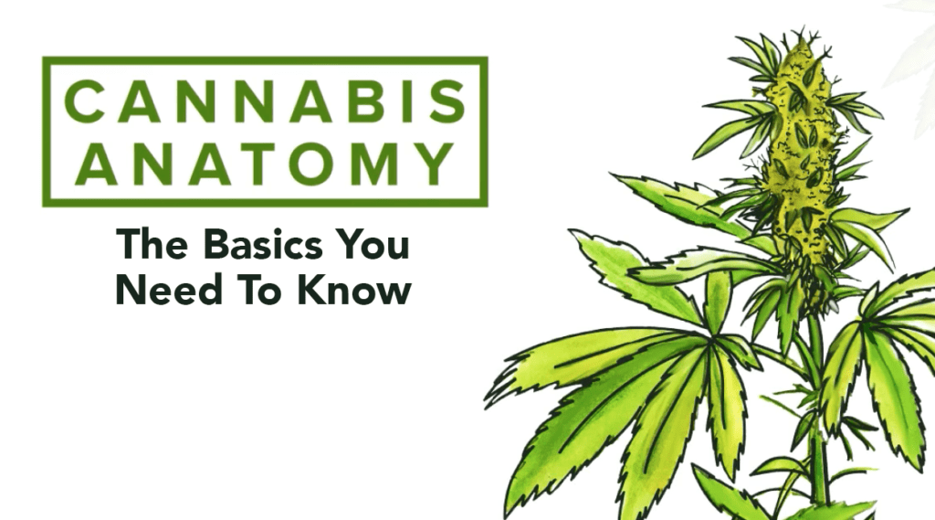 Cannabis Anatomy, What You Need To Know